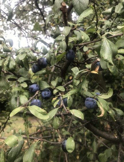 Wild sloes growing on a bush