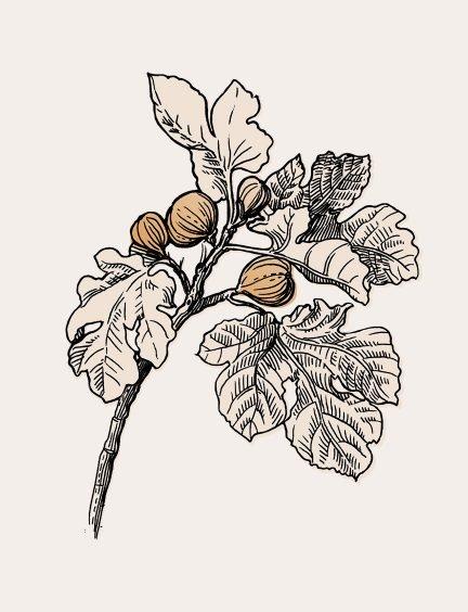 Fig leaf illustration