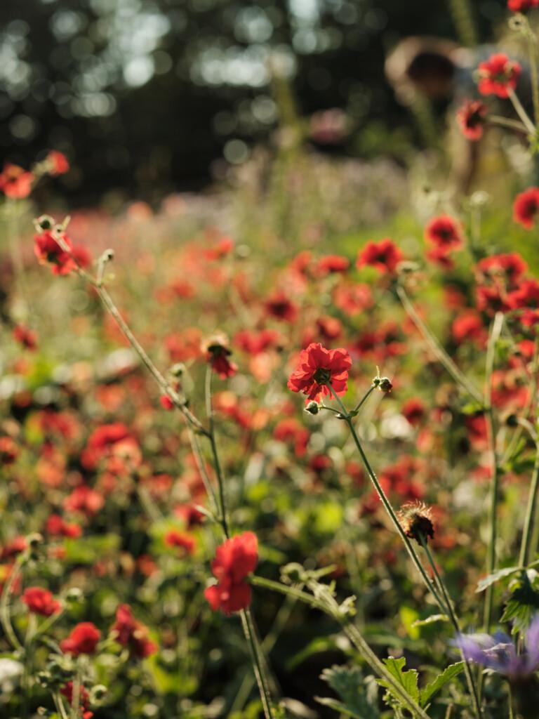 British poppies - Wetherly